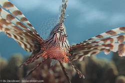 BD-121129-Aqaba-7746-Pterois-miles-(Bennett.-1828)-[Devil-firefish.-Drakfisk].jpg